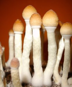 Rose Glen North Dakota ⁓ Try These Psilocybe Azurescens Spores