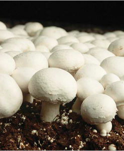 growing mushrooms at home