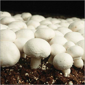 Button-Mushroom
