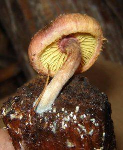 Gymnopilus luteofolius