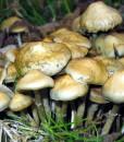 psilocybe ovoid