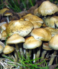 Psilocybe Cyanescens - Mushroom Prints