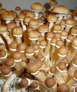 Spore Syringes Archives - Mushroom Prints