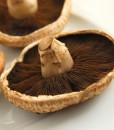 portobello mushroom culture