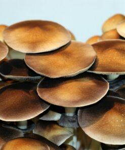 Stropharia - Mushroom Prints
